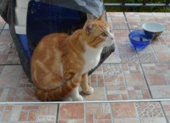 IDRIS, chat roux tigré et blanc, né le 01/07/2013 Idris_10