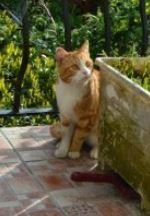 IDRIS, chat roux tigré et blanc, né le 01/07/2013 Idris_11
