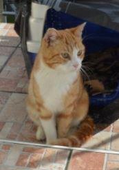 IDRIS, chat roux tigré et blanc, né le 01/07/2013 Idris_12