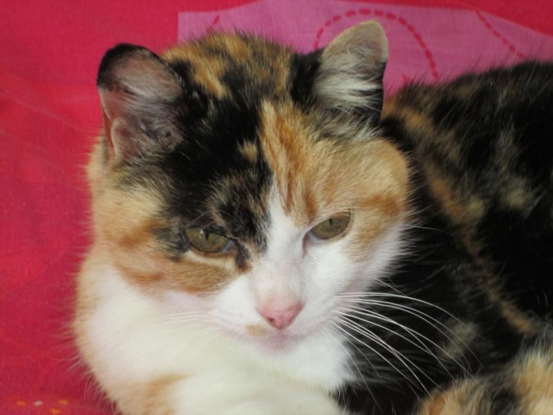 Tatoune, femelle type européen, tricolore, née le 01/03/2002 en don libre Img_1111