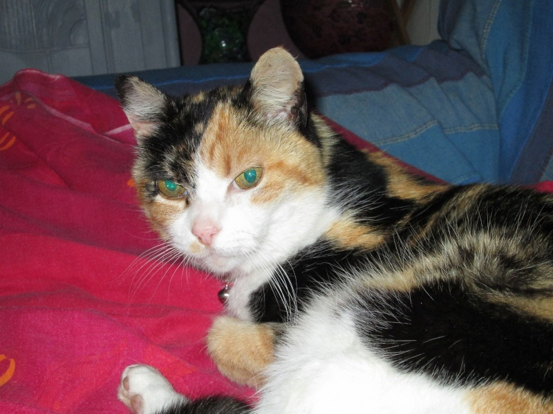 Tatoune, femelle type européen, tricolore, née le 01/03/2002 en don libre Img_1114