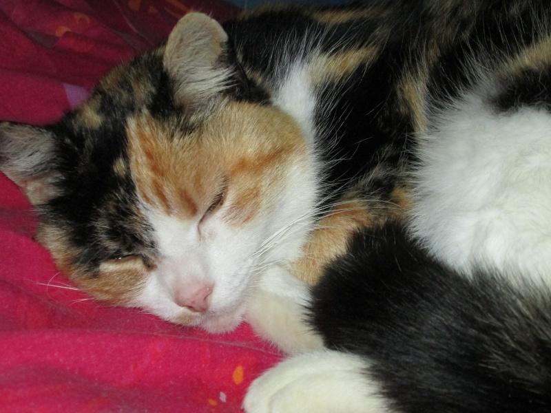 Tatoune, femelle type européen, tricolore, née le 01/03/2002 en don libre Img_1115