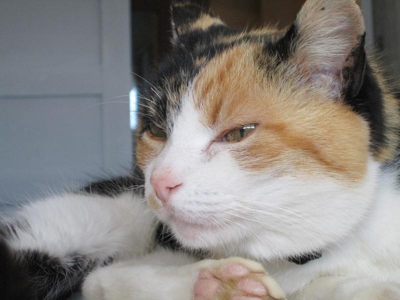 Tatoune, femelle type européen, tricolore, née le 01/03/2002 en don libre Img_1121