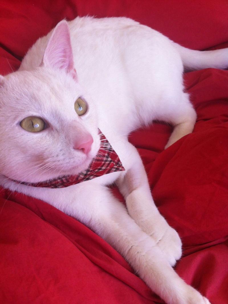 IVOIRE, chat européen blanc, né le 01/03/2013 Img_2010