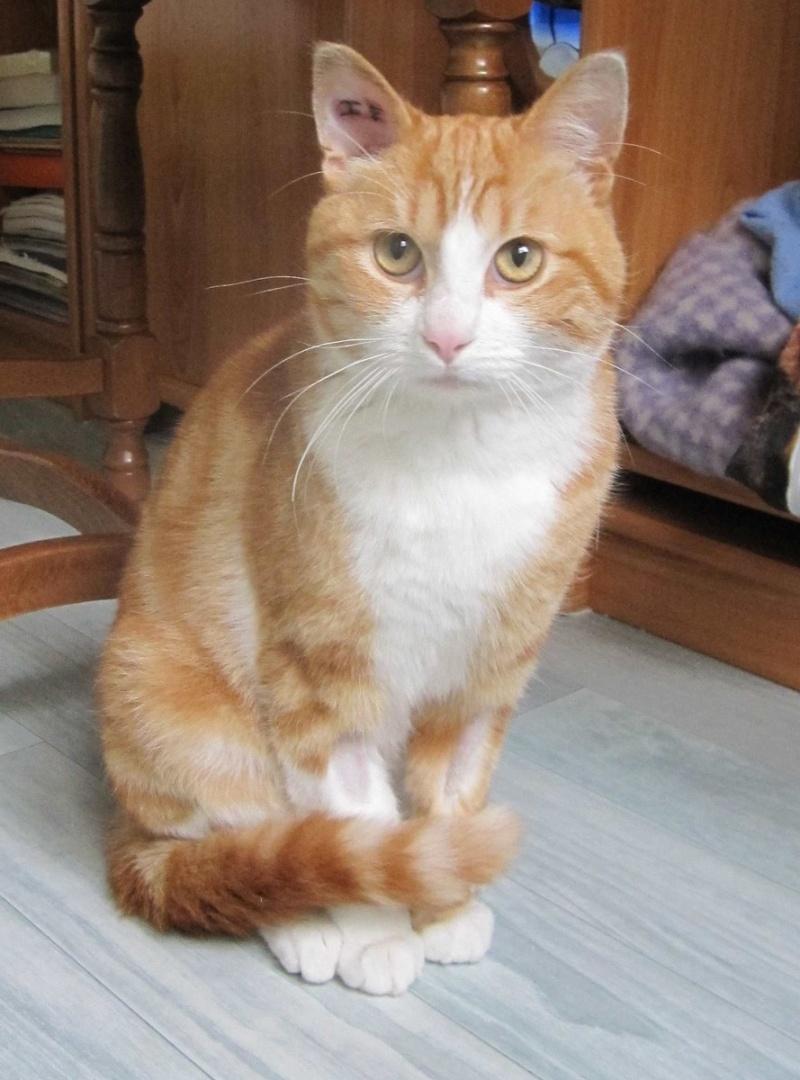 IDRIS, chat roux tigré et blanc, né le 01/07/2013 Img_7033