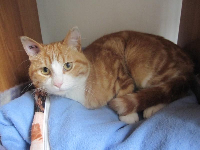 IDRIS, chat roux tigré et blanc, né le 01/07/2013 Img_7110