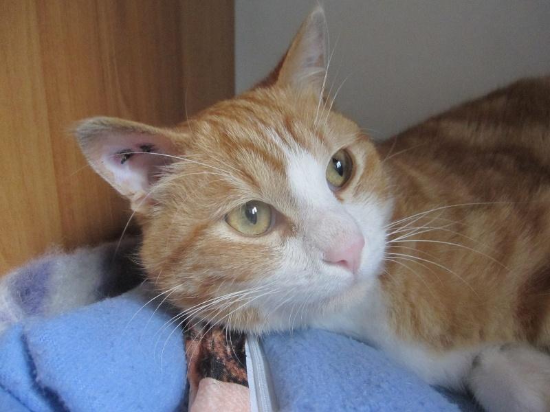 IDRIS, chat roux tigré et blanc, né le 01/07/2013 Img_7112