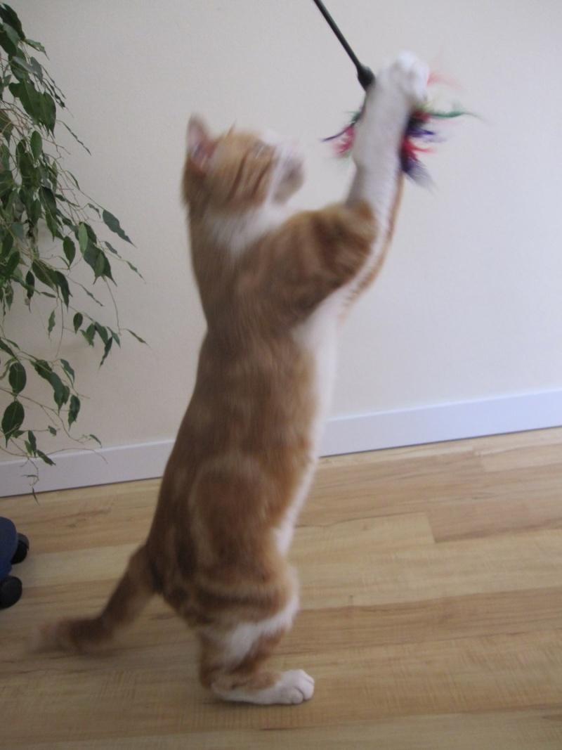 IDRIS, chat roux tigré et blanc, né le 01/07/2013 Img_7113
