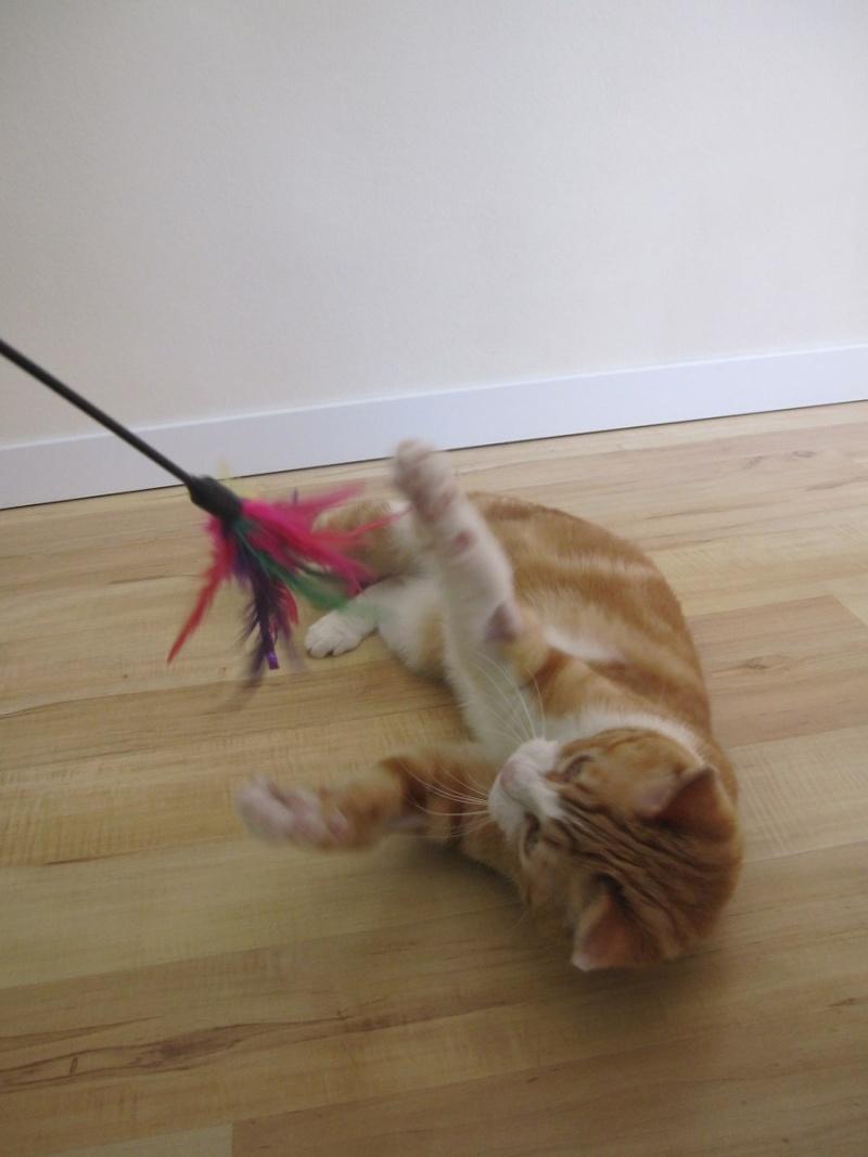 IDRIS, chat roux tigré et blanc, né le 01/07/2013 Img_7115