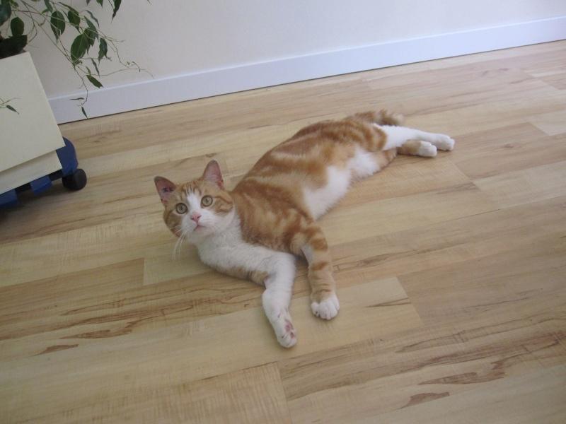 IDRIS, chat roux tigré et blanc, né le 01/07/2013 Img_7117