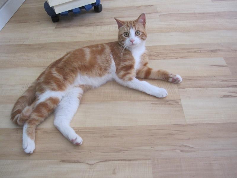 IDRIS, chat roux tigré et blanc, né le 01/07/2013 Img_7118