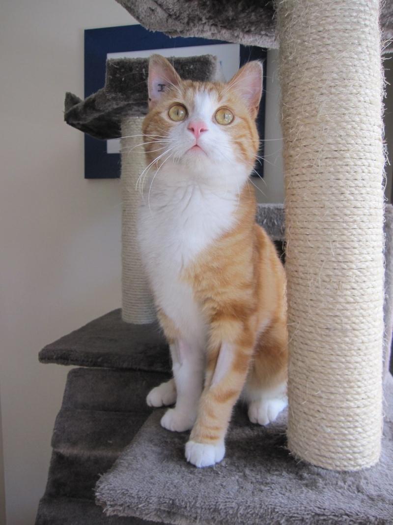 IDRIS, chat roux tigré et blanc, né le 01/07/2013 Img_7120