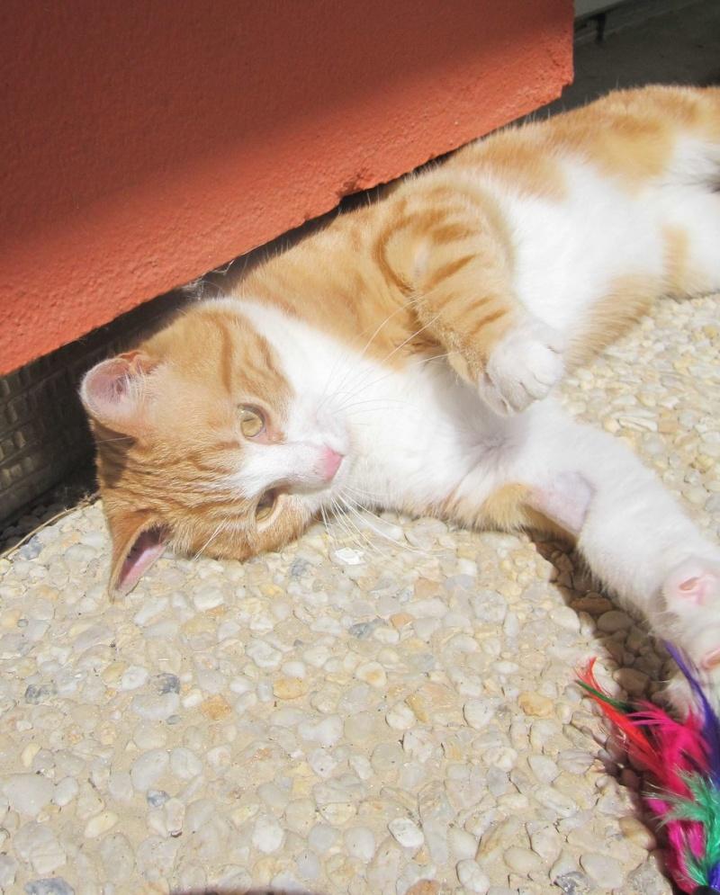 IDRIS, chat roux tigré et blanc, né le 01/07/2013 Img_7121