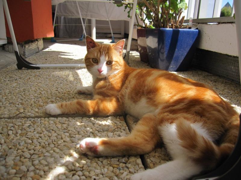 IDRIS, chat roux tigré et blanc, né le 01/07/2013 Img_7122