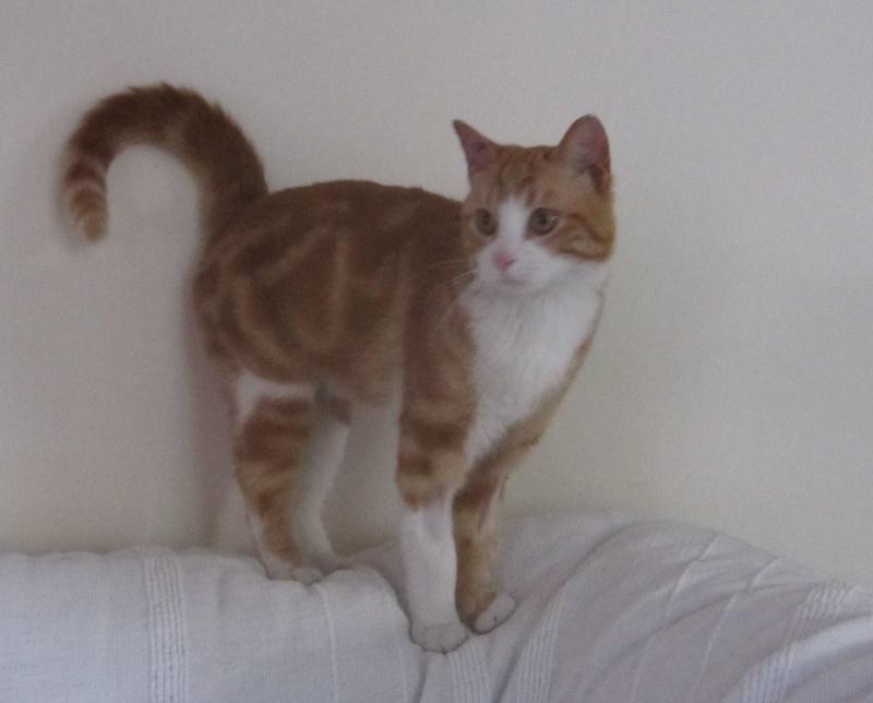 IDRIS, chat roux tigré et blanc, né le 01/07/2013 Img_7215