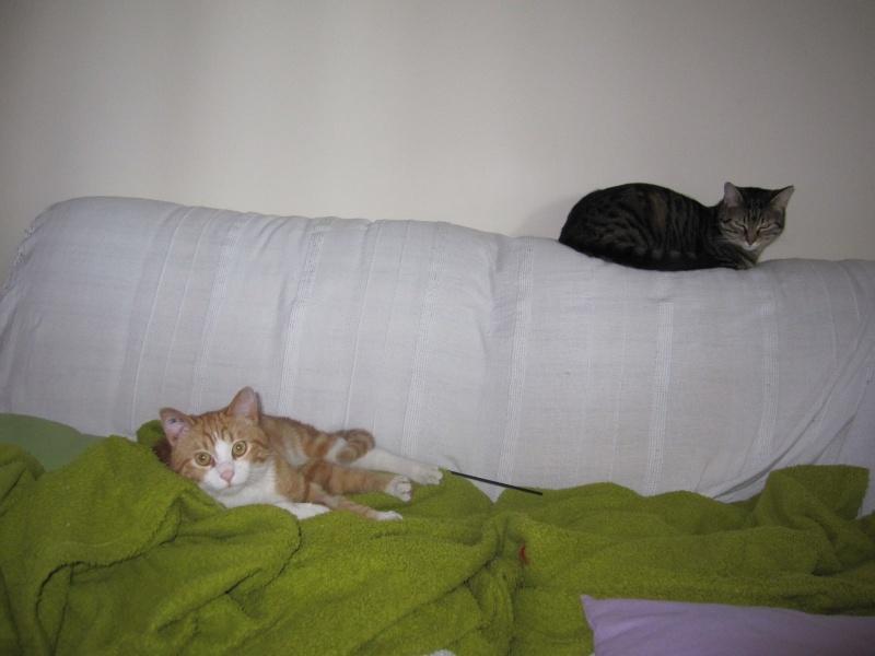 IDRIS, chat roux tigré et blanc, né le 01/07/2013 Img_7218