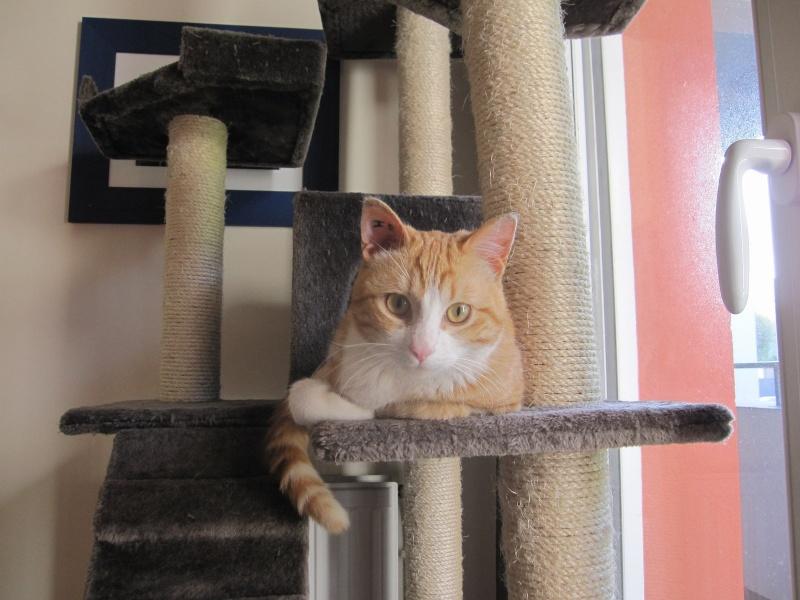 IDRIS, chat roux tigré et blanc, né le 01/07/2013 Img_7221