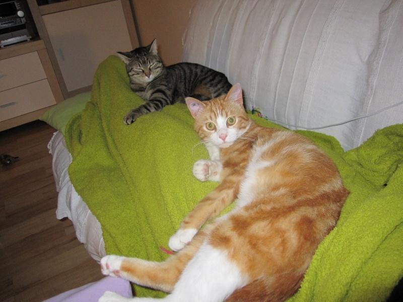 IDRIS, chat roux tigré et blanc, né le 01/07/2013 Img_7222