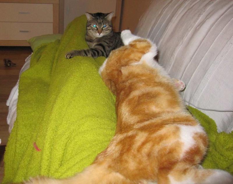 IDRIS, chat roux tigré et blanc, né le 01/07/2013 Img_7223