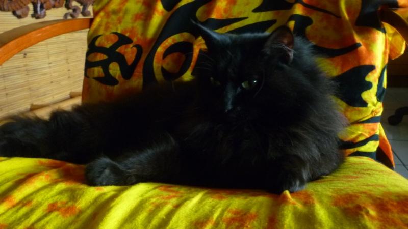 EXQUISE, chatte européenne noire à poils longs, née le 01/12/2009 P1050410