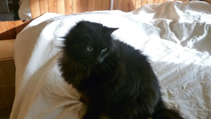EXQUISE, chatte européenne noire à poils longs, née le 01/12/2009 P1050411