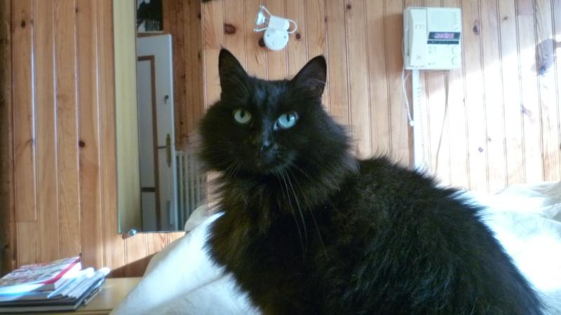 EXQUISE, chatte européenne noire à poils longs, née le 01/12/2009 P1050412