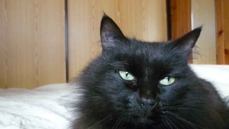 EXQUISE, chatte européenne noire à poils longs, née le 01/12/2009 P1050414
