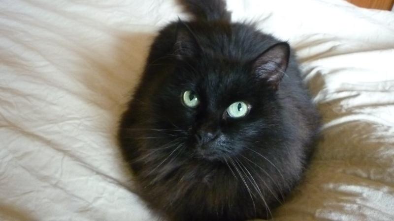 EXQUISE, chatte européenne noire à poils longs, née le 01/12/2009 P1050415