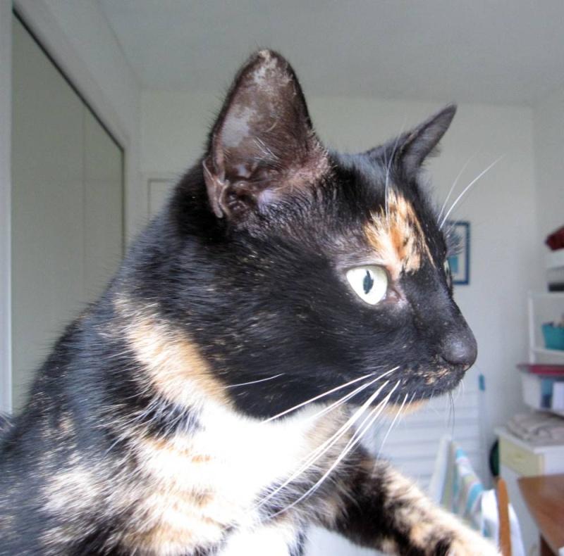 GHANIA, chatte européenne tricolore, née le 01/01/2011 Trico_18