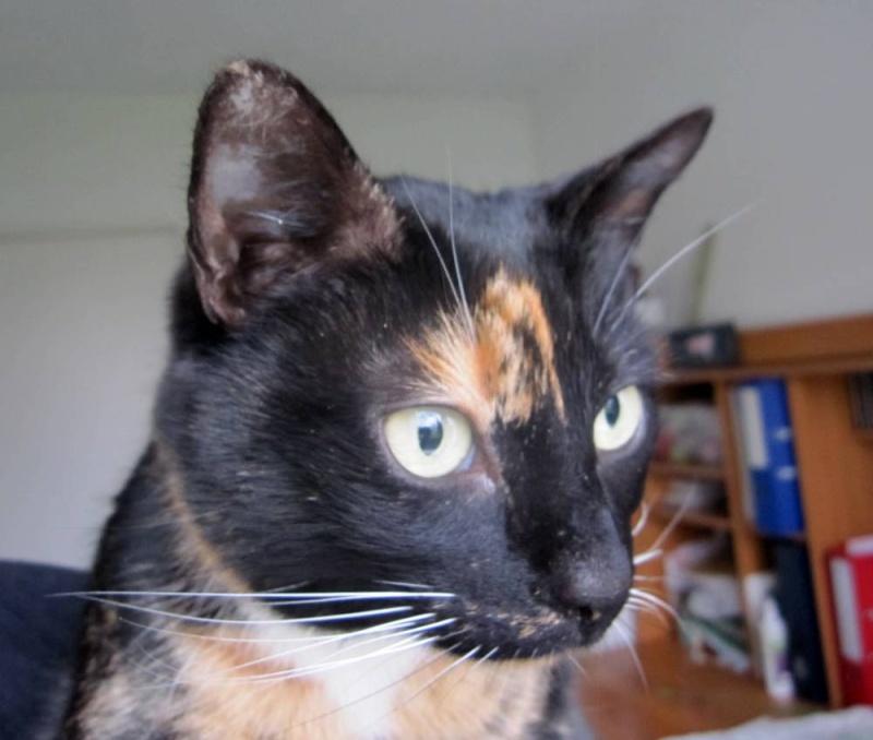 GHANIA, chatte européenne tricolore, née le 01/01/2011 Trico_19