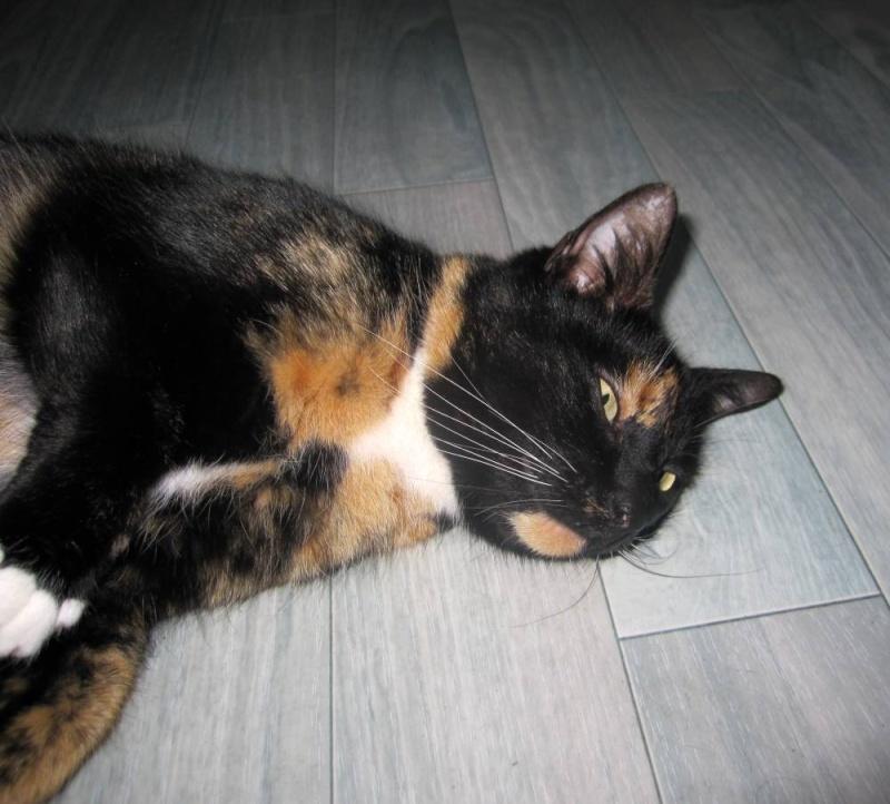GHANIA, chatte européenne tricolore, née le 01/01/2011 Trico_21