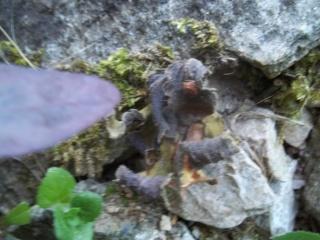 Haberlea rhodopensis 100_1611