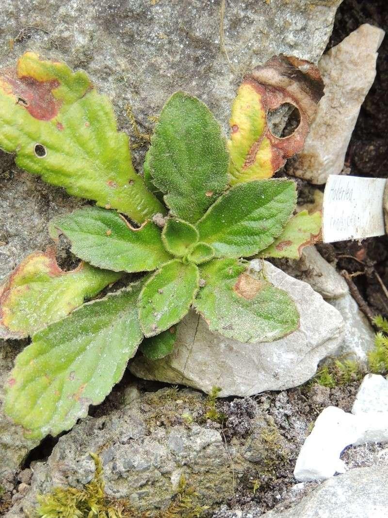 Haberlea rhodopensis Photo_15