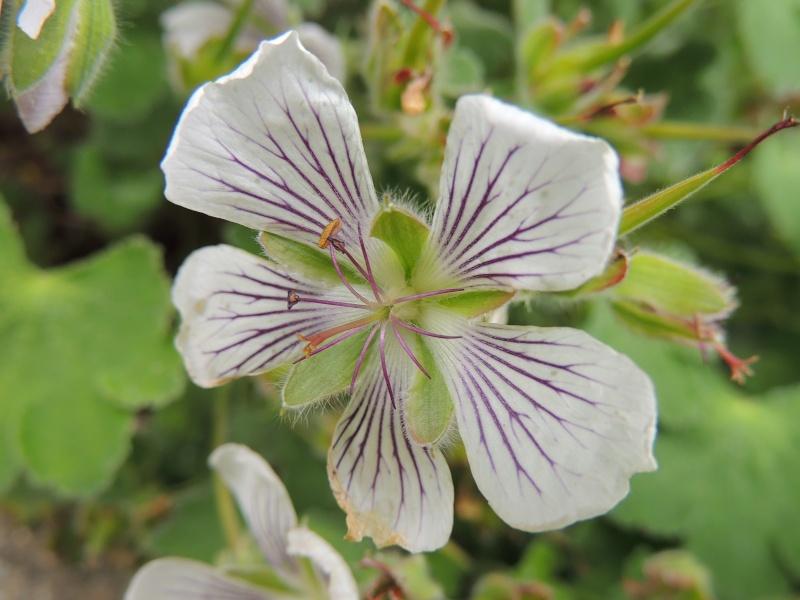 Epilobium crassum, Geranium renardii, Aquilegia 'Clementine White' [devinette] Photo_21