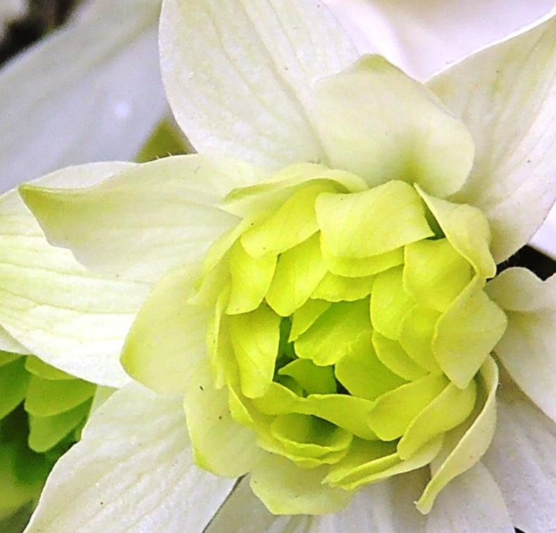 Epilobium crassum, Geranium renardii, Aquilegia 'Clementine White' [devinette] Photo_22