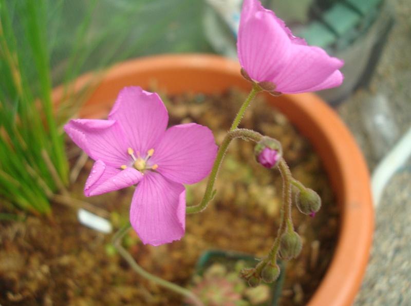Les plantes de Ted82 - Page 22 D_hami13
