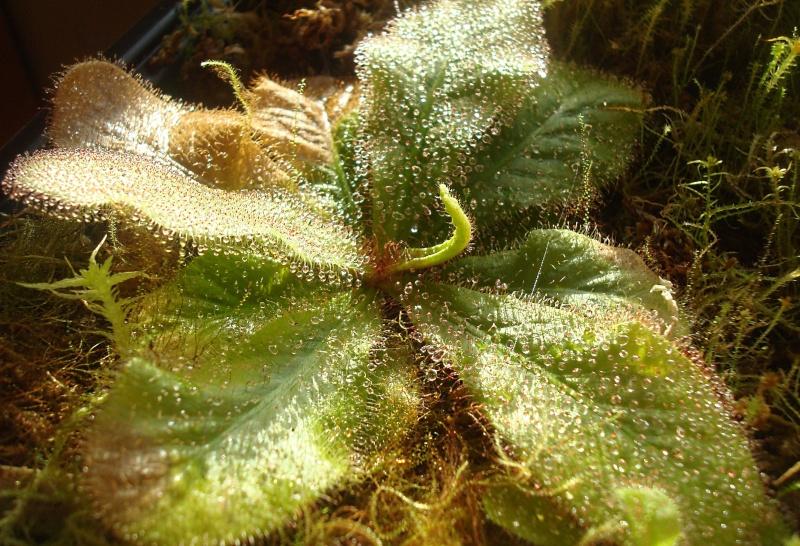 Les plantes de Ted82 - Page 22 D_schi10