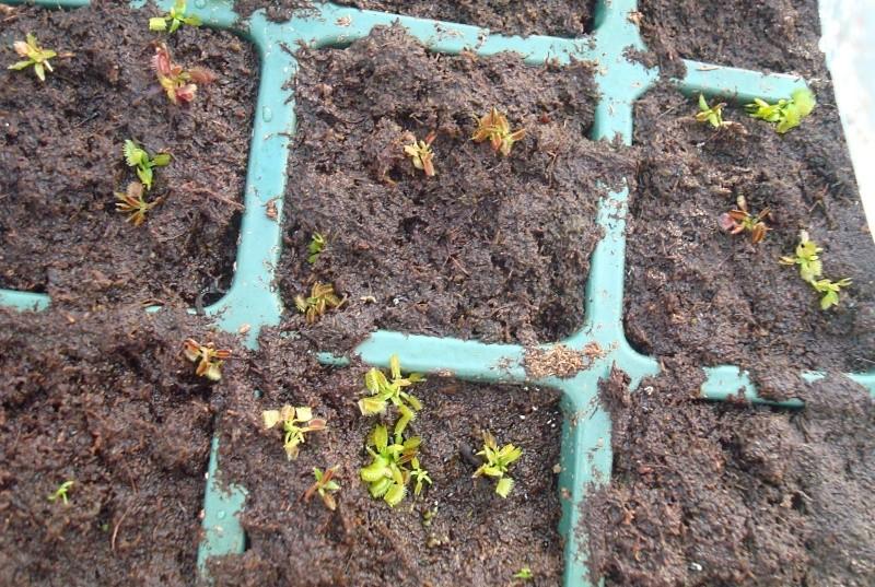 Suivi semis et germination Dionaea [Ted82] - Page 2 Dsc06628