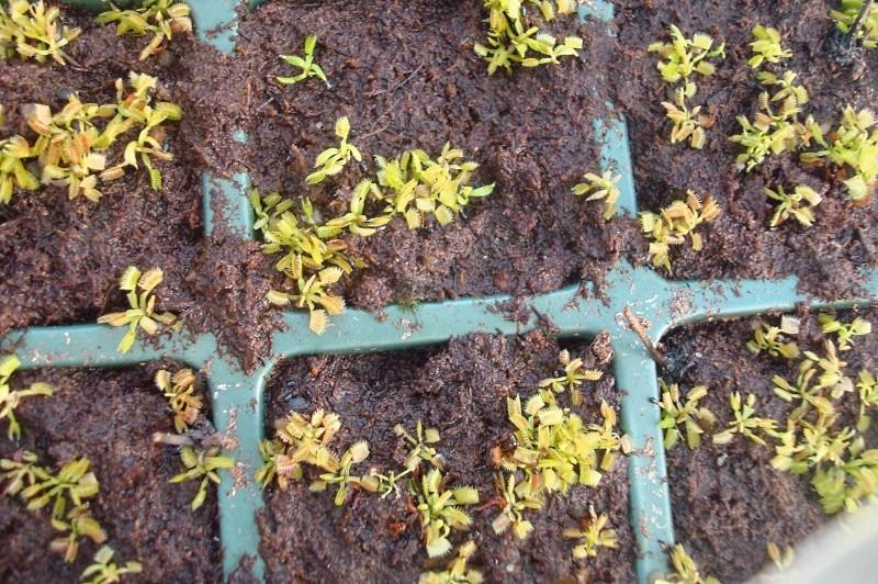 Suivi semis et germination Dionaea [Ted82] - Page 2 Dsc06629