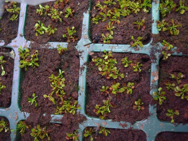 Suivi semis et germination Dionaea [Ted82] - Page 2 Dsc06916