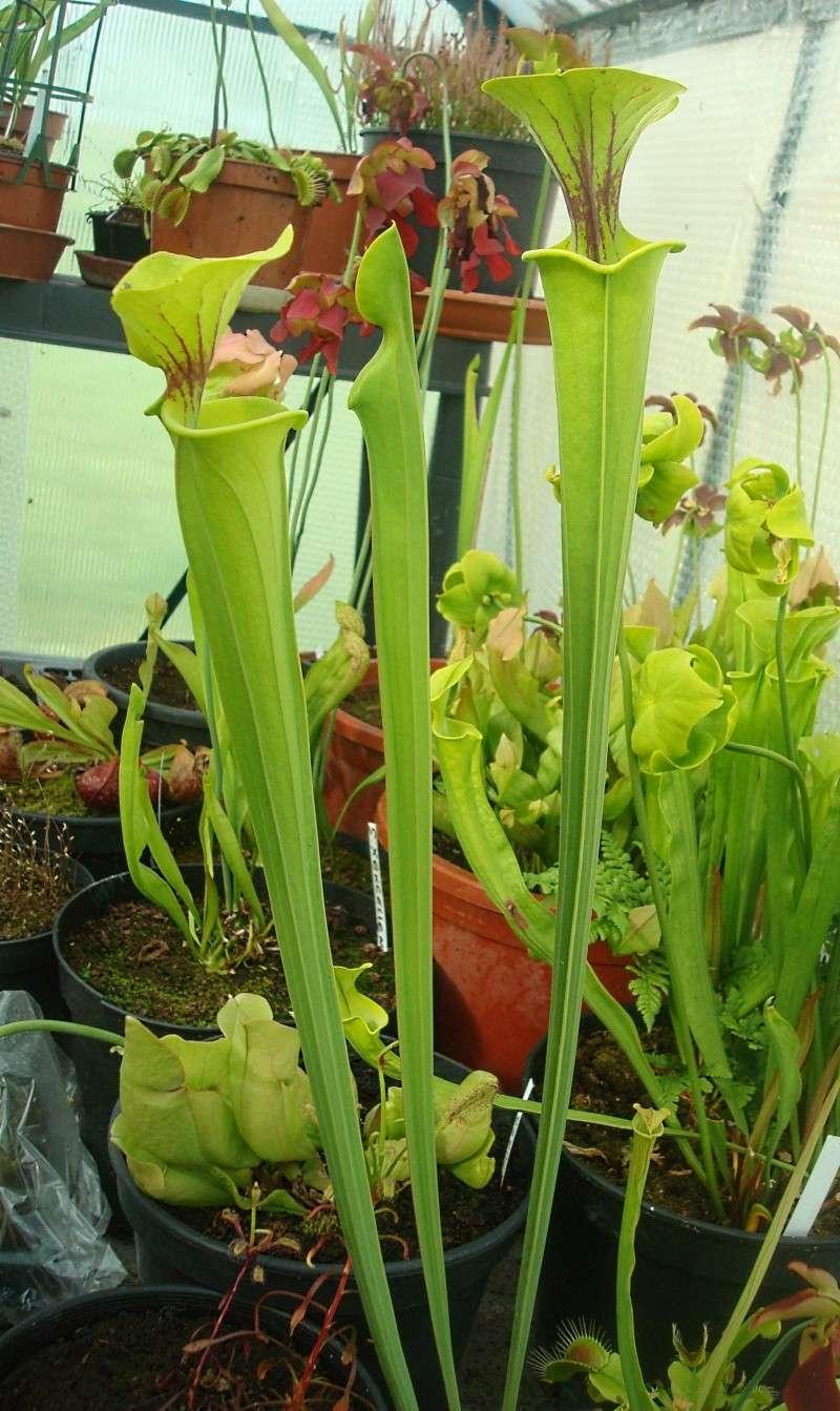 Les plantes de Ted82 - Page 22 S_flav10