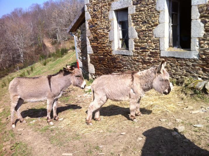 Dpt19 - YOUMIS âne commun adopté par Jean Vincent et sa femme (2013) Y110