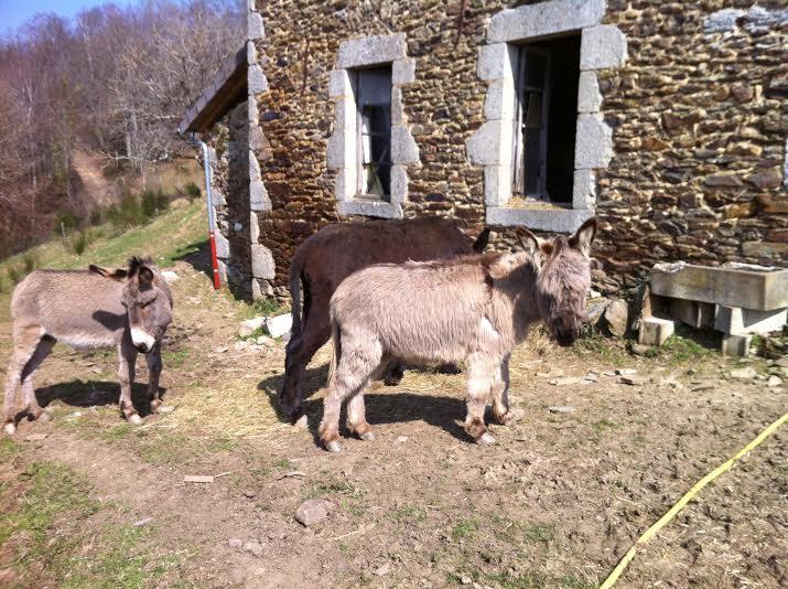 Dpt19 - YOUMIS âne commun adopté par Jean Vincent et sa femme (2013) Y210