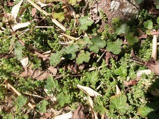 Hedera - lierre - espèces, hybrides horticoles - Page 2 11_oct10