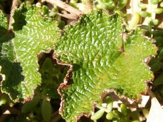 Hedera - lierre - espèces, hybrides horticoles - Page 2 11_oct11