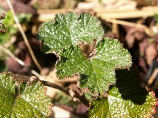 Hedera - lierre - espèces, hybrides horticoles - Page 2 11_oct12