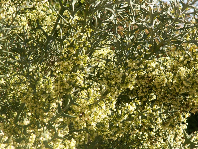 Colletia paradoxa (= Colletia cruciata) Collet10