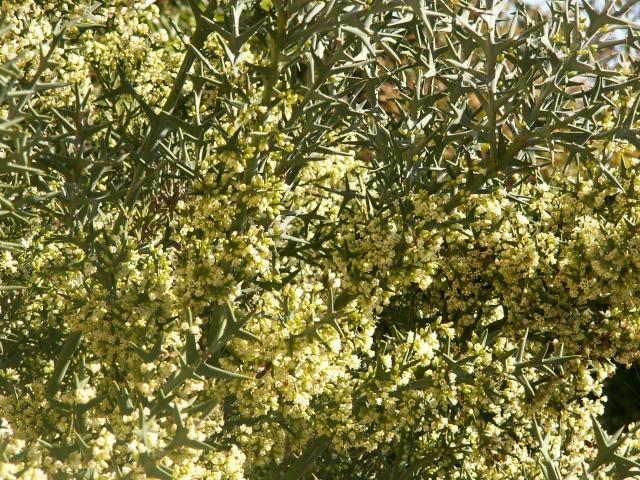 Colletia paradoxa (= Colletia cruciata) Collet10