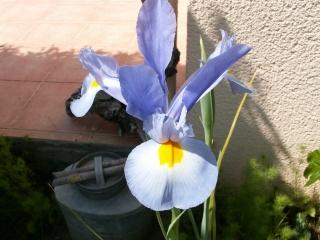 Floraison de nos iris barbus saison 2014 - Page 2 Iris_d10