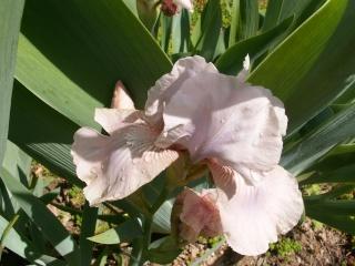 Floraison de nos iris barbus saison 2014 - Page 2 Iris_v10
